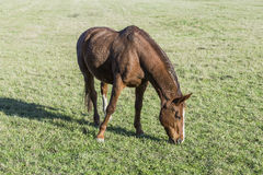 A horse on the meadow Royalty Free Stock Images