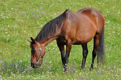 Horse and meadow with flowers Stock Images