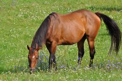 Horse and meadow with flowers Stock Image