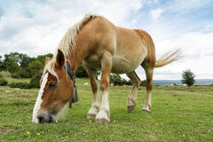 Horse in the meadow. Free horse grazing in the meadow Royalty Free Stock Photography