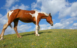 Horse in meadow Royalty Free Stock Photo