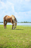 Horse in the meadow. Stock Photography