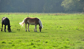 Horse on the meadow. Light horse with his shadow Royalty Free Stock Photo