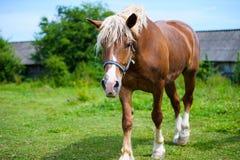 Horse in meadow. Meadow grazing horse Stock Photos