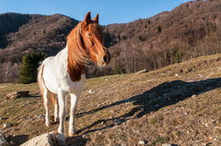 Horse in the meadow mountain Royalty Free Stock Image