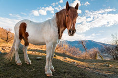 Horse in the meadow mountain Royalty Free Stock Images
