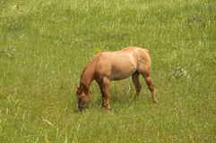 Horse in Meadow, pasture Stock Image