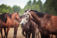 Horse on meadow. Portrait of the horse on a rural background, summer time royalty free stock photography
