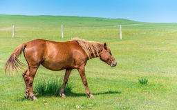 Horse in the Meadow Royalty Free Stock Photography