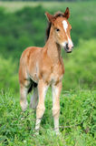 Horse. On meadow in summer day Stock Photo
