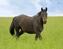 Horse. On meadow in summer day Stock Photos
