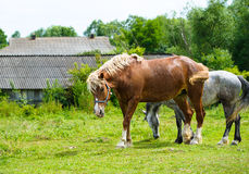 Horse in meadow. Royalty Free Stock Photography