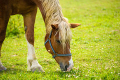 Horse in meadow. Royalty Free Stock Photos