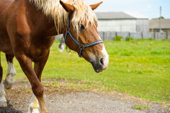Horse in meadow. Stock Photography
