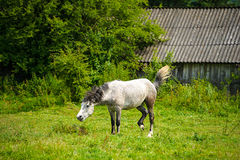 Horse in meadow. Stock Image