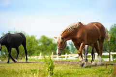 Horse in meadow. Stock Images