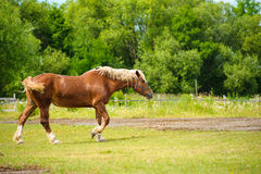 Horse in meadow. Royalty Free Stock Image