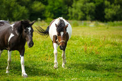 Horse in meadow. Summer day. Holsteiner horse, bay gelding, run away from the rider Royalty Free Stock Image