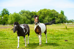 Horse in meadow. Summer day Stock Images