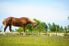 Horse in meadow. Summer day Royalty Free Stock Image