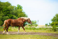 Horse in meadow. Summer day. Holsteiner horse, bay gelding, run away from the rider Royalty Free Stock Images