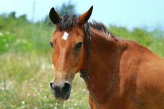 Horse in the meadow. Sunny day Royalty Free Stock Image