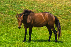 Horse on a meadow at sunny summer day in Pester Royalty Free Stock Photo