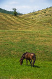 Horse on a meadow at sunny summer day in Pester Royalty Free Stock Images