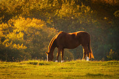 Horse in a meadow Royalty Free Stock Photography