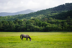 A horse on a meadow Royalty Free Stock Photos