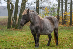 Horse  on meadow. Working horse standing on meadow Royalty Free Stock Photography