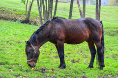 Horse on a meadow Royalty Free Stock Images
