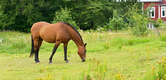Horse in meadows near farmhouse. Finland stock images