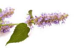 Horse Mint Royalty Free Stock Image