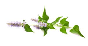 Horse Mint Stock Photography