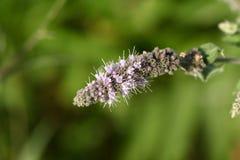 Horse Mint (Mentha longifolia) Stock Photo