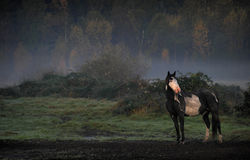 Horse in the mist. Horse posing on a misty fall morning Royalty Free Stock Photo