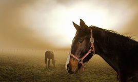 Horse in the mist. Two horses relaxing in the mist Stock Photo