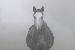 Horse in the Mist Stock Images