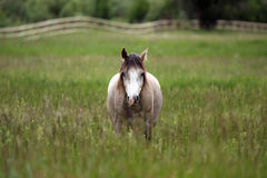 Horse On Montana Ranch. Gray Horse in a pasture with blurred background Stock Images