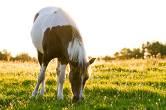 Horse in the morning light. Beautiful horse in a meadow royalty free stock photo