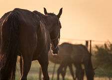Horse on morning light back view Stock Photos