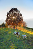 Horse mother with her little farm at sunset Stock Images