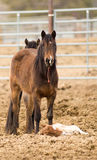 Horse Mother Stands over Tired Colt Foal Offspring Stock Photography