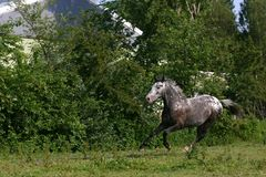 Horse in motion. An appaloosa horse running in a field Stock Images