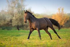 Bay horse in motion. Horse in motion in autumn landscape royalty free stock photography