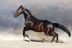 Horse in motion. Bay horse in motion in desert dust against sky Royalty Free Stock Image