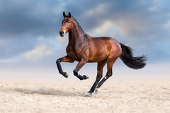 Horse in motion. Bay horse in motion in desert dust against sky Royalty Free Stock Photos