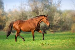 Horse in motion. In autumn landscape royalty free stock photo