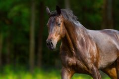 Horse in motion outdoor. Free horse portrait in motion at summer green meadow Stock Photography